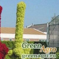 "Амарант багряный (Amaranthus cruentus) ""TOWER"" (GREEN) raw Произв. 1000 шт."