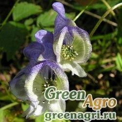 Аконит столононосный (Aconitum stoloniferum) 3,5 гр.