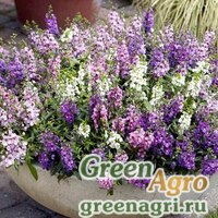 "Семена Ангелония узколистная (Angelonia angustifolia) ""Serena F1"" (blue) pelleted 100 шт."