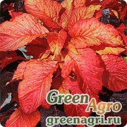 """Амарант двуцветный (Amaranthus bicolor) """"Molten Fire"""" 50 гр."""