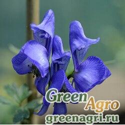 Аконит токи (Aconitum tokii) 1 гр.
