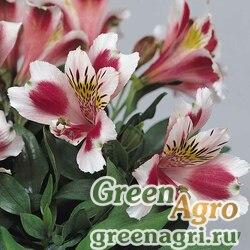 """Альстремерия гибридная (Alstroemeria hybrida) """"Jazze"""" (rose frost) raw 100 шт."""