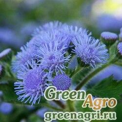 """Агератум мексиканский (Ageratum houstonianum) """"Blue Ball"""" 30 гр."""