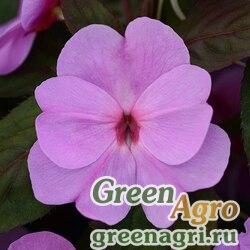 "Бальзамин новогвинейский (Impatiens New Guinea) ""Divine F1"" (lavender) raw 100 шт."