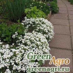 "Арабис альпийский (Arabis alpina) ""Praecox"" (white) 40 гр."