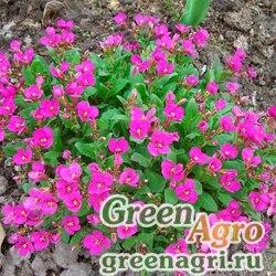 "Арабис кавказский (Arabis caucasica) ""Little Treasure"" (deep rose) raw 1000 шт."