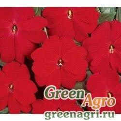 "Бальзамин новогвинейский (Impatiens New Guinea) ""Divine F1"" (scarlet red) raw Произв. 100 шт."