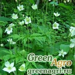 Анемона виргинская (Anemone virginiana) 2,5 гр.