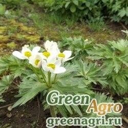 Анемона пучковатая (Anemone fasciculata) 2,5 гр.