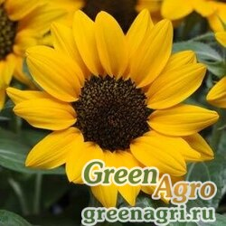 "Подсолнечник летний (Helianthus annuus) ""Miss Sunshine"" (yellow) treated 500 шт."