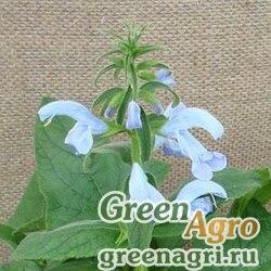 "Шалфей отклоненный (Salvia patens) ""Patio"" (sky blue) raw 100 шт."