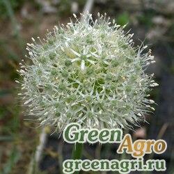 Лук алтайский ф.сизая (Allium altaicum f.glauca) 4 гр.