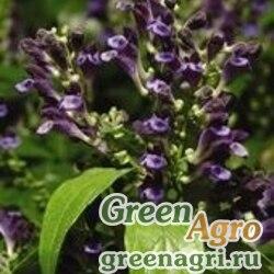 "Шлемник яванский (Scuttellaria javanica) ""Veranda"" (blue) raw 100 шт."
