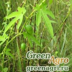 Актиностемма лопастная (Actinostemma lobatum) 3 гр.