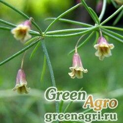 Аспарагус персидский (Asparagus persicus) 5 гр.