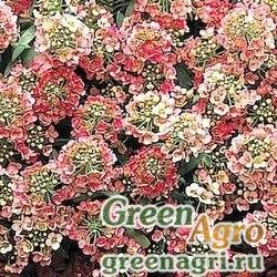 """Алиссум морской компактный (Lobularia maritima) """"Aphrodite"""" (apricot) raw Произв. 1000 шт."""