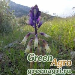 Бельвалия трёхлисточковая (Bellevalia trifoliata) 2 гр.