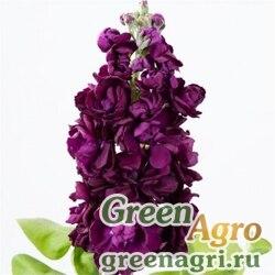 """Левкой седой (Matthiola incana) """"Aida"""" (purple) raw Произв. 1000 шт."""