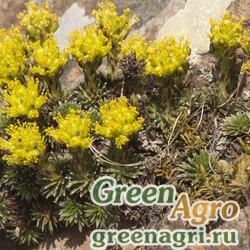 Камнеломка можжевельниколистная (Saxifraga juniperifolia) 0,3 гр.