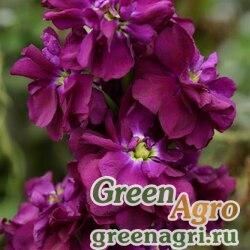 "Левкой седой (Matthiola incana) ""Column"" (purple heart) raw 5 гр."