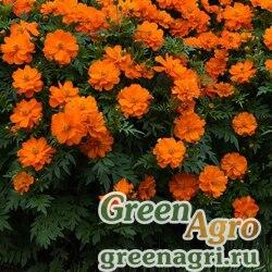 """Космея сернисто-желтая (Cosmos sulphureus) """"Mandarin"""" (deep orange) raw 1000 шт."""