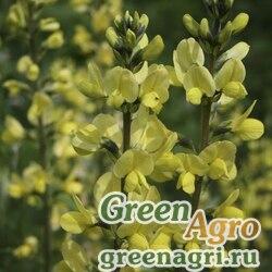 Баптизия молочноцветковая (Baptisia leucantha) 1,2 гр.