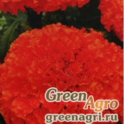 """Бархатцы отклоненные (Tagetes patula) """"Brocade"""" (red) 100 гр."""