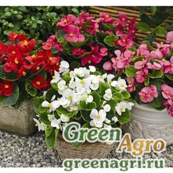 """Бегония вечноцветущая (зеленая листва) (Begonia semperflorens) """"Bada Bing F1"""" (mix) pelleted 1000 шт."""