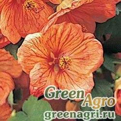 Абутилон гибридный Abutilon hybridum Bella apricot shades Raw 100