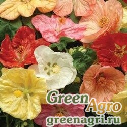 "Абутилон гибридный (Abutilon hybridum) ""Bella"" (mix select) raw 500 шт."