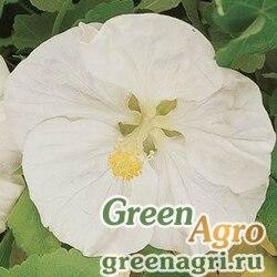 "Абутилон гибридный (Abutilon hybridum) ""Bella"" (vanilla) raw 100 шт."