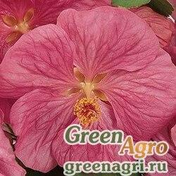 Абутилон гибридный Abutilon hybridum Bella pink Raw 100