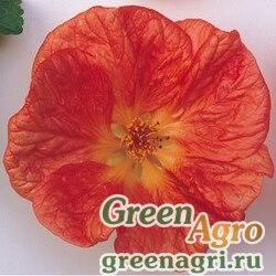 Абутилон гибридный Abutilon hybridum Bella red Raw 100