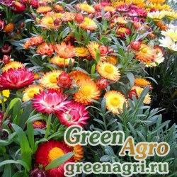 """Бессмертник прицветниковый (Helichrysum bracteatum) """"Swiss Giants"""" (mix) 60 гр."""