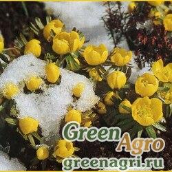 Весенник зимний (Eranthis hyemalis) 2 гр.