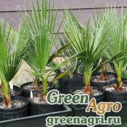 Вашингтония нитчатая (Washingtonia filifera) 170 гр.