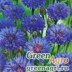 "Василек синий (Centaurea cyanus) ""Blue Ball"" (blue) 100 гр."