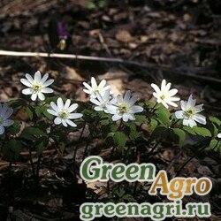 Ветровочник алтайский (Anemonoides altaensis) 3 гр.