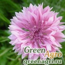 "Василек синий (Centaurea cyanus) ""Pink Ball"" (pink) 100 гр."
