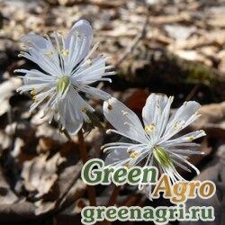 Весенник звездчатый (Eranthis stellata) 4 гр.