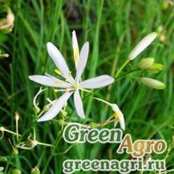 Венечник лилиаго/простой (Anthericum liliago) 4 гр.