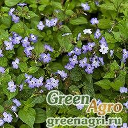 Броваллия липкая (Browallia viscosa) 4 гр.