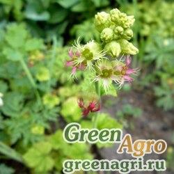 Бойкиния аконитолистная низкая (Boykinia aconitifolia var minima) 1 гр.