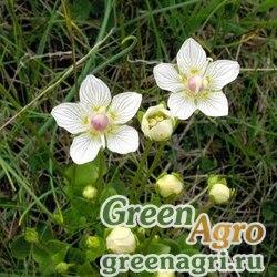 Белозор болотный (Parnassia palustris) 4 гр.