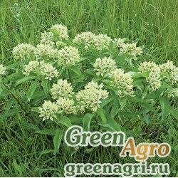 Ваточник зелёный (Asclepias viridis) 1 гр.