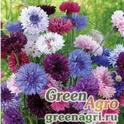 "Василек синий (Centaurea cyanus) ""Tom Pouce"" (mixed) 20 гр."