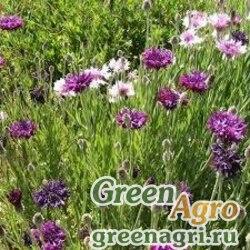 "Василек синий (Centaurea cyanus) ""Mauve Ball"" (mauve) 70 гр."