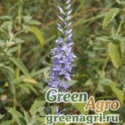 Вероника орхидная (Veronica orchida) 1.5 гр.