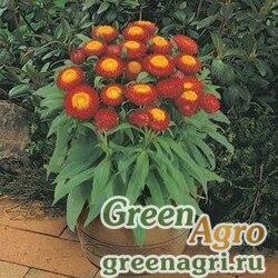 """Бессмертник прицветниковый (Helichrysum bracteatum) """"Chico"""" (red) raw Произв. 1000 шт."""