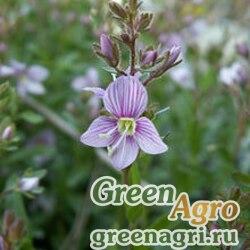 Вероника кустарничковая (Veronica fruticulosa) 0.5 гр.